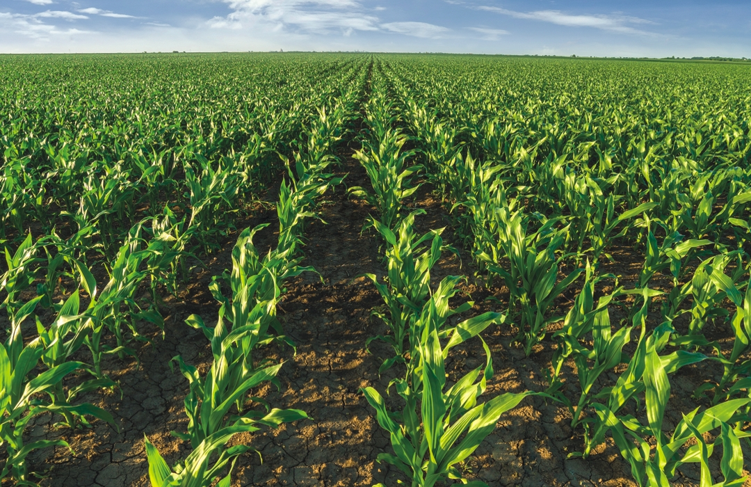 maize row crop