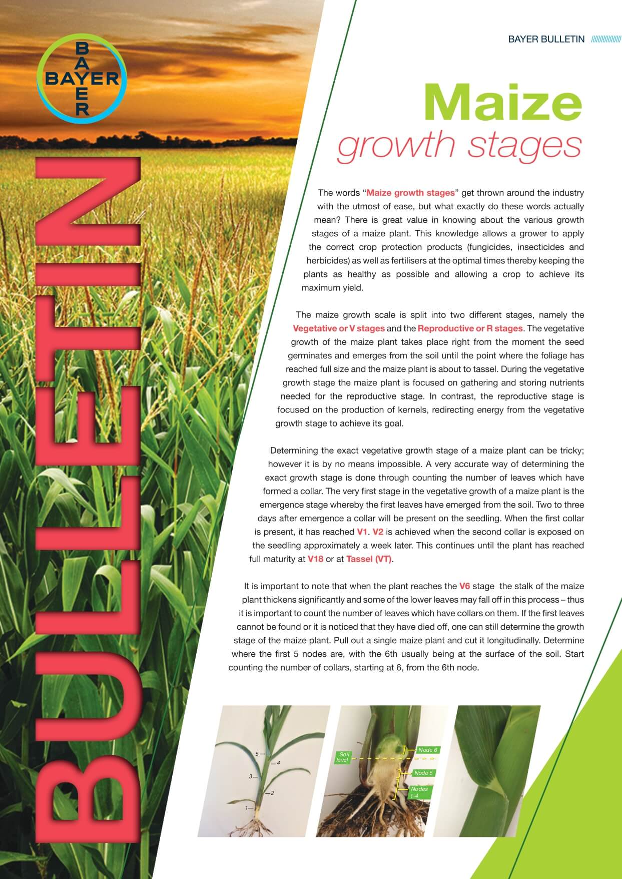 Maize - Growth Stages